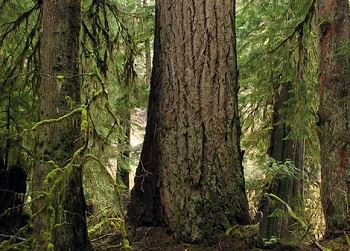 douglas fir TAC newsflash